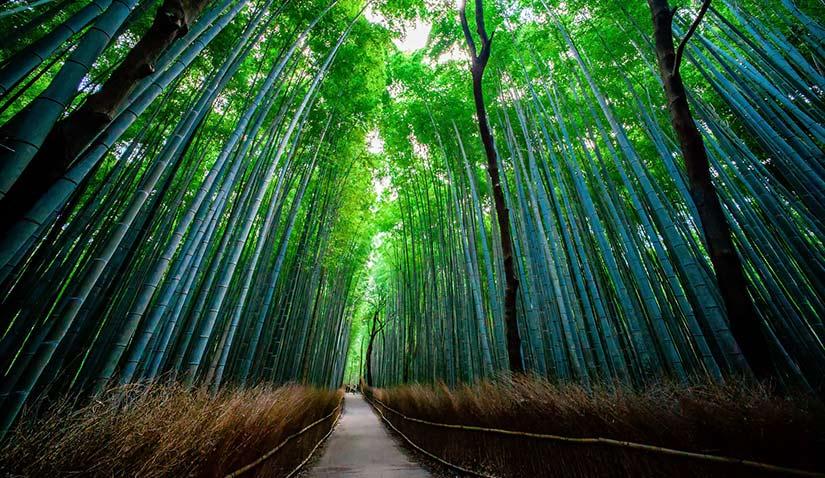 Entre bambú y sonidos de la naturaleza - bosque de bambú de Sagano